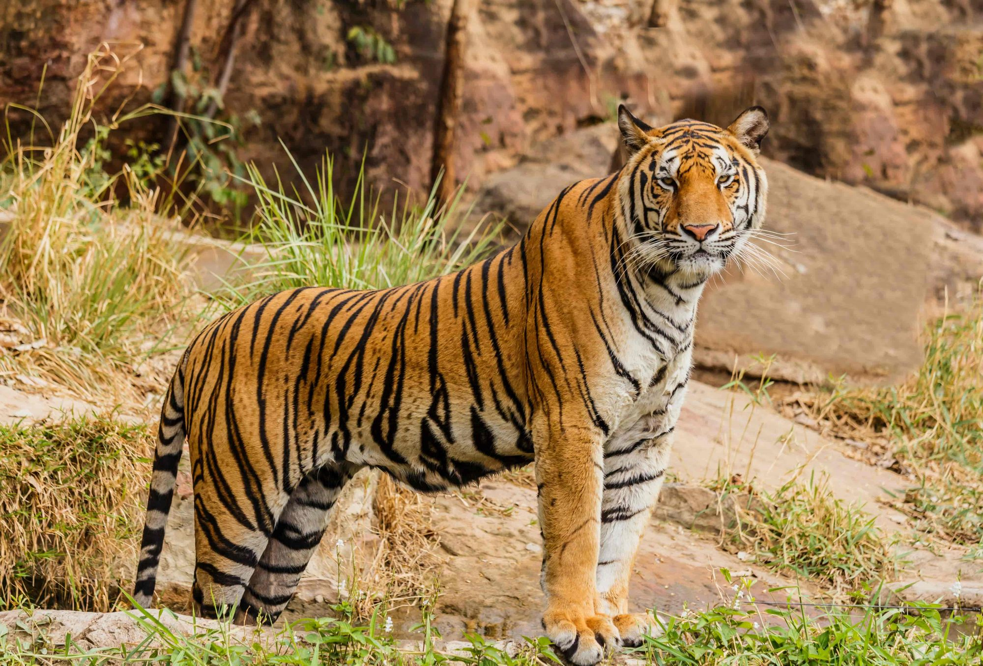 A fierce tiger standing at its territory in the wild.
