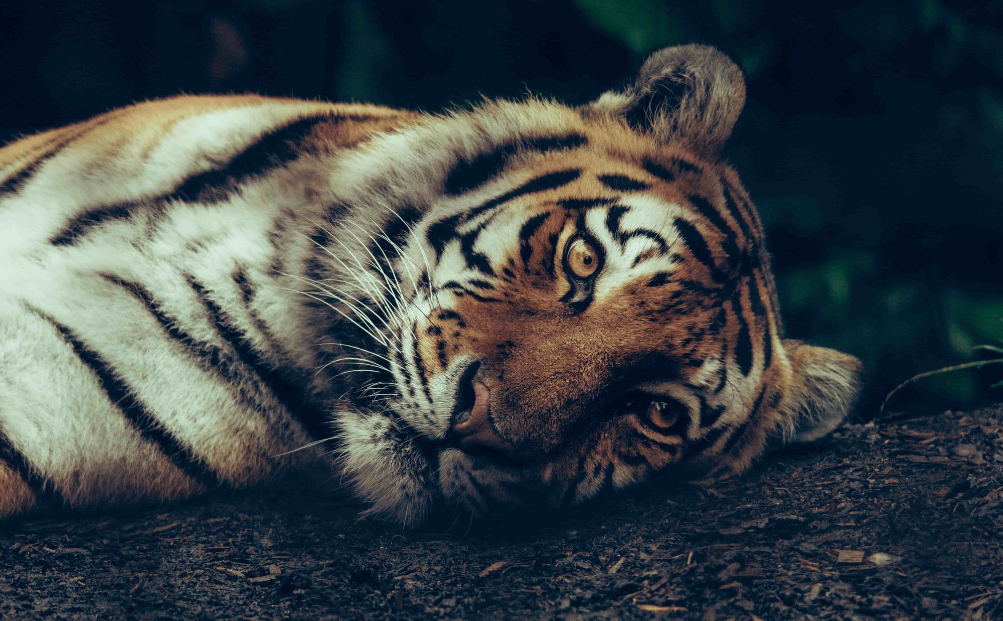A tiger leaning its head into the ground with a sad face.