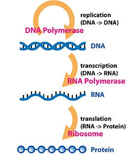 The central dogma of molecular biology.